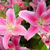 Hoa Ly (bách hợp)