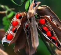 Cam thảo,cây cam thảo,cam thảo dây,cườm thảo đỏ,chi chi,cườm cườm,tương tư đằng,tương tư thảo,cảm sảo,hương tư tử,Abrus precatorius,cây độc dược,cây thảo dược,cây làm thuốc,họ đậu,Fabaceae,Leguminosae,Fabaceae sensu lato,Cam thảo dây