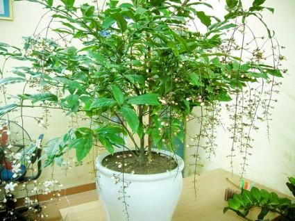 Cây ngọc minh châu,ngọc minh châu,cây ngày Tết,cây phong thủy,ý nghĩa của cây Ngọc minh châu,Cây Ngọc Minh Châu
