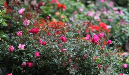 Hoa hồng quế,hoa hồng,rosa,rose,Rosaceae,Hoa hồng quế