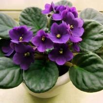 Hoa Tử Linh Lan (Violet châu Phi)