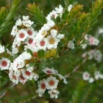 Hoa đào kim nương Calycina