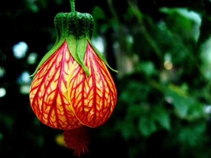 Hoa bụp lồng đèn,bụt lồng đèn,bụp lồng đèn,hoa dâm bụt,hoa râm bụt,bông bụt,bông bụp,Abutilon pictum,Flowering Maple,họ cẩm quỳ,Malvaceae,Hoa bụp lồng đèn
