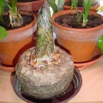 Cây khoai nưa (củ nưa)