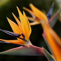 Thiên điểu (hoa chim thiên đường)