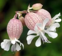 Hoa bong bóng,Bladder Campion,Silene vulgaris,họ Cẩm chướng,Caryophyllaceae,Hoa bong bóng