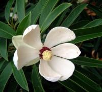 Vàng tâm,cây vàng tâm,Magnolia fordiana,Manglietia fordiana,họ mộc lan,mộc lan,Magnoliaceae,cây công trình,cây ven đường,Cây vàng tâm