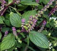 Hương nhu,hương nhu trắng,hương nhu tía,cây é,tác dụng của hương nhu,bài thuốc từ hương nhu,Ocimum tenuiflorum,Ocimum sanctum,họ hoa môi,Lamiaceae,Hương nhu