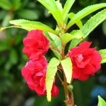 Cây bóng nước (cây móng tay, phượng tiên hoa)