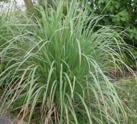 Cây sả,chi sả,các loài sả,tác dụng của cây sả,bài thuốc từ cây sả,Cymbopogon,họ Hòa thảo,họ Lúa,họ Cỏ,Poaceae,Gramineae,Cây Sả