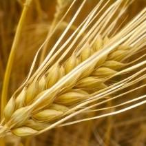 Cây đại mạch (lúa mạch)