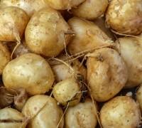 Cây củ đậu,củ đậu,củ sắn,sắn nước,cây sắn nước,pachyrhizus erosus,họ đậu,fabaceae,Cây củ đậu (sắn nước)