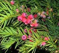 Thông đỏ,thông đỏ nam,cây thông,thông,Taxus wallichiana,Thông đỏ Himalaya,họ thanh tùng,họ thông đỏ,taxaceae,tác dụng của thông đỏ,thông đỏ chữa bệnh,tinh dầu thông đỏ,Thông đỏ (thông đỏ nam)