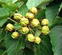 Cây trẩu,trẩu,trẩu nhăn,lai,quả trẩu,hoa trẩu,vernicia montana,loài cây mộc,công dụng của cây trẩu,Cây Trẩu (trẩu nhăn, lai)