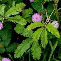 Cỏ trinh nữ (cây xấu hổ, mắc cỡ, thẹn thùng, hàm tu thảo)
