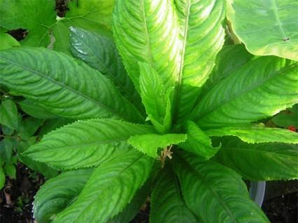 Xương sông,xương xông,xang sông,hoạt lộc thảo,rau húng ăn gỏi,blumea lanceolaria,họ cúc,asteraceae,Xương sông