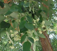 Cây trắc,trắc,cây gỗ trắc,gỗ trắc,cẩm lai Nam Bộ,Dalbergia cochinchinensis,Cây trắc (Cẩm lai Nam Bộ)