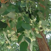 Cây trắc (Cẩm lai Nam Bộ)