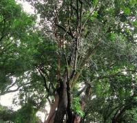 Cây gỗ mun,gỗ mun,mun,mun sừng,diospyros mun,họ thị,ebenaceae,Cây gỗ Mun (mun sừng)