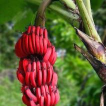 Cây chuối đỏ