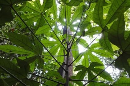 Cây Ươi,cây đười ươi,lười ươi,an nam tử,cây thạch,ươi bay,bàng đại hải,hương đào,lù noi,sam rang,som vang,đại đông quả,Scaphium macropodum,Sterculia lychnophora,Caryophyllum macropodum,Scaphium lychnophorum,Firmiana lychnophora,chi Ươi,họ phụ Trôm,họ Cẩm Quỳ,tác dụng y học của cây ươi,Cây Ươi (đười ươi)