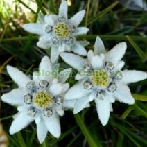 Cây Hoa Nhung Tuyết (Cây Hoa Thùy Trinh)
