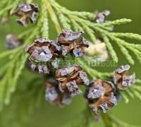 cây hoàng đàn,Cupressus tonkinensis Silba, hình ảnh cây hoàng đàn, cây hoàng đàn mọc tự nhiên, Cupressus tonkinensis D. Don, cay hoang dan, họ trắc bách diệp, họ Cupressaceae, tinh dầu hoàng đàn, gỗ hoàng đàn, tinh dầu cây hoàng đàn,,Cây Hoàng Đàn
