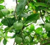 cây bàng vuông,Lecythidales, họ lộc vừng, họ Lecythidaceae, Mammea asiatica L., cây bàng trường sa, cay bang vuong, cây bàng bí, Barringtonia asiatica (L.) Kurz, cây chiếc bàng,,Cây Bàng Vuông
