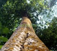 cây săng lẻ, cay sang le,Lagerstroemiatomentsa Presl, họ bằng lăng, họ Lythraceae, cây săng lẻ cổ thụ,,Cây Săng Lẻ