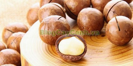 Macadamia, Proteaceae, cây mắc ca, cay mac ca, cây mác ca, công dụng cây mắc ca,,Cây Mắc Ca (Cây mác ca)