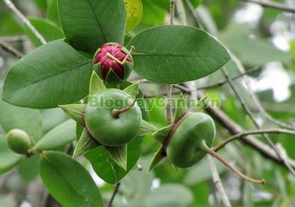 cây bần chua, cây bần sẻ, Sonneratia caseolaris, họ Lythraceae, quả bần, cây bần, bần chua, công dụng của cây bần chua, tác dụng của cây bần chua, cay ban chua,,Cây Bần Chua (Cây Bần Sẻ)