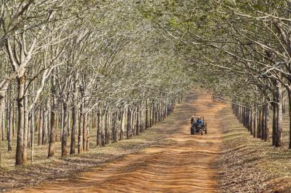 cây cao su, hình ảnh cây cao su, Hevea brarileneis, vườn cây cao su, công dụng cây cao su, cay cao su, mủ cao su,,Cây Cao Su