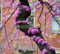 cây hoa hạnh phúc, hình ảnh cây hoa hạnh phúc, cây hoa hạnh phúc đẹp, công dụng cây hoa hạnh phúc, cay hoa hanh phuc, cây hạnh phúc,,Cây Hoa Hạnh Phúc