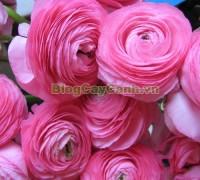 cây hoa mao lương, cây hoa hoàng liên, hình ảnh cây hoa mao lương, Rananculus, họ Mao Lương, cay hoa mao luong,Cây Hoa Mao Lương (Cây hoa hoàng liên)