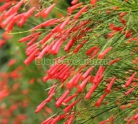 cây liễu tường hoa đỏ, họ Hoa mõm sói , Scrophulariaceae., hình ảnh cây liễu tường hoa đỏ, Russelia equisetifomis Schlecht. et Cham., cay lieu hoa do, cây hoa xác pháo, cây xác pháo,,Cây Liễu Tường Hoa Đỏ