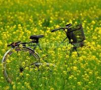 mùa hoa cải vàng, cây hoa cải, hoa cải vàng, cải ngồng ra hoa, cây hoa cải,,Hoa Cải Vàng
