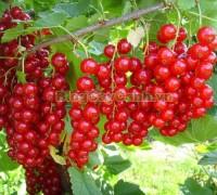 cây nho chuỗi ngọc, cây nho Pháp, Ribes nigrum, cassis, black currant, cây nho đỏ currant, hình ảnh cây nho chuỗi ngọc, tác dụng của cây nho chuỗi ngọc, quả nho chuỗi ngọc, cay nho chuoi ngoc,,Cây Nho Chuỗi Ngọc