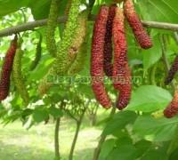 cây dâu quả dài, hình ảnh cây dâu quả dài, công dụng của cây dâu quả dài, cây dâu trái dài, cây dâu quả dài Đài Loan, cây dâu đài loan, cay dau qua dai,,Cây Dâu Quả Dài
