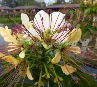 cây bún, chi Crateva, họ Bạch hoa, Màn Màn,capparaceae,họ Cáp, hình ảnh cây bún, cách chăm sóc cây bún,đặc điểm cây bún, cây bún hà nội, bún nước, cay bun,,Cây Bún
