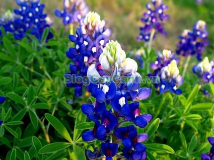 cây hoa mũ len, Blue Bonet cây mũ len, mũ len xanh, hình ảnh cây hoa mũ len,biểu tượng bang texas, texas, cây hoa mũ len đẹp, vườn hoa mũ len,,Cây Hoa Mũ Len