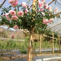 Cây Hoa Hồng Thân Gỗ - Tree Rose