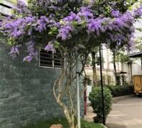 cây hoa mai xanh, cây mai xanh, hoa mai xanh, hoa mai xanh thái, cây mai xanh thái, cây mai xanh đà lạt, cây bông xanh, cây chim xanh, mai xanh đà lạt, mai xanh thái, phân biệt cây hoa mai xanh và mai xanh thái, mai xanh thái lan, cây hoa mai tím, cây mai xanh Thái lan,mai xanh Thái, mai tím Thái Lan, Sandpaper vine, Purple wreath, Queen's Wreath, Petrea volubilis,Cây Hoa Mai Xanh Và Mai Xanh Thái