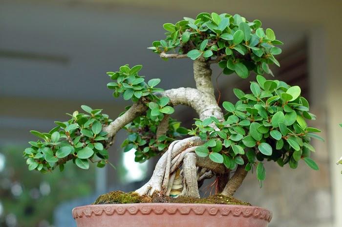 Kỹ thuật tạo dáng, lá, chồi cây cảnh | Cây cảnh - Hoa cảnh - Bonsai - Hòn non bộ - Sân vườn tiểu cảnh - Blog Cây cảnh .Vn