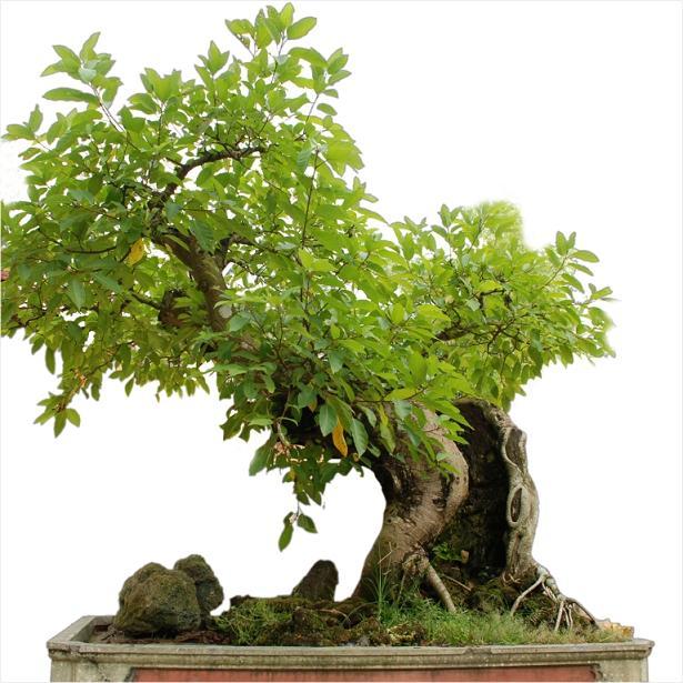 Kết quả hình ảnh cho cây sung bonsai